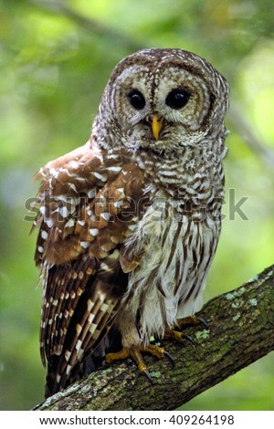 Barred owl perched on a branch in the everglades of Florida. The scientific name is Strix varia. - stock photo