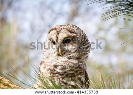 Barred Owl sits in tree - stock photo