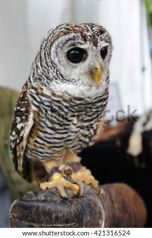 Barred owl staying on human hand.