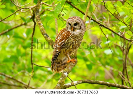 Barred owl (Strix varia) sitting on a tree. Barred owl is best known as the hoot owl for its distinctive call