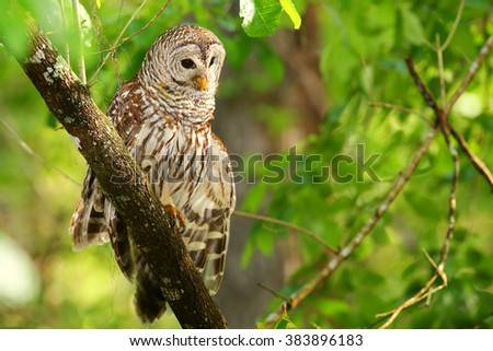 Barred owl (Strix varia) stretching its wing. Barred owl is best known as the hoot owl for its distinctive call