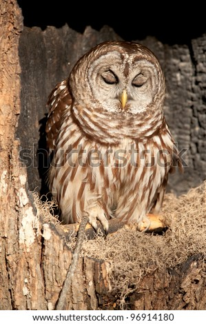 Barred owl with it's eyes closed sitting in a tree as if it were sleeping - stock photo