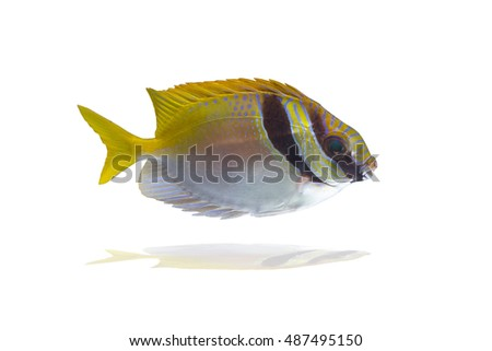 Barred Rabbitfish (Siganus doliatus) Also known as Spinefoots, Barred Spinefoot, Doliatus Foxface Fish, Pencil-streaked Rabbitfish,Pencil-streaked Spinefoot, Blue-lined Rabbitfish,Blue-lined Spinefoot