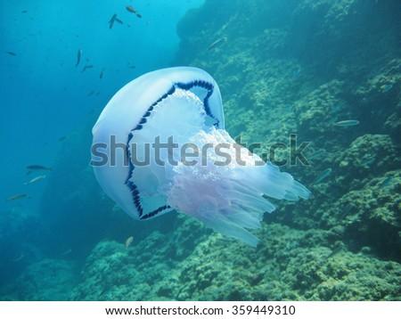 Barrel jellyfish, Rhizostoma pulmo, with rock in background, Mediterranean sea, France - stock photo