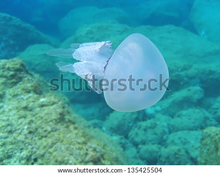 Barrel jellyfish, Rhizostoma pulmo with rocky seabed in background ,Mediterranean sea, France - stock photo