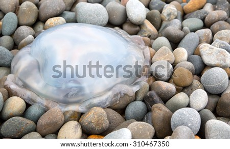 Barrel jellyfish stranded on a stony beach - stock photo