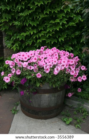 barrel planted with pink petunias in front of ivy