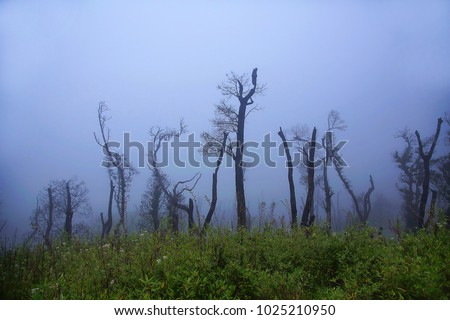 Barren tree in mist. Dzukou Valley. Border of the states of Nagaland and Manipur, India. Well known for its natural beauty, seasonal flowers and the overall flora and fauna.