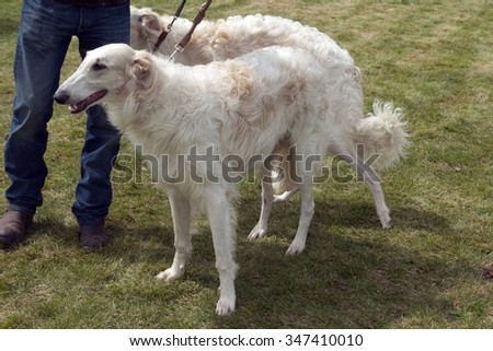 Barsoi; Borzoi; russian; long-haired