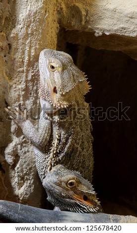 Circa august 2014 frankfurt real size stock photo 230329900 bartagame bearded dragon in the cave thecheapjerseys Image collections