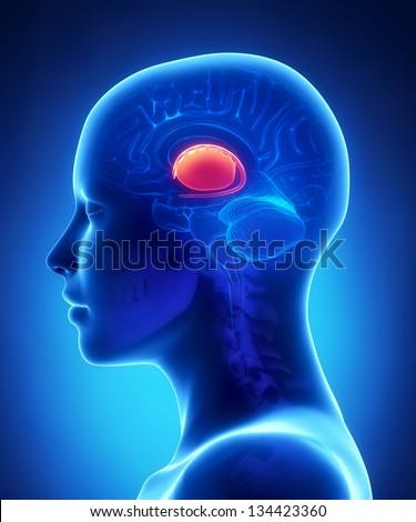 Basal ganglia - female brain anatomy lateral view - stock photo