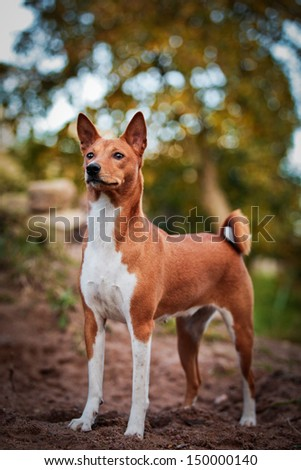 basenji dog fall, tail, ears - stock photo