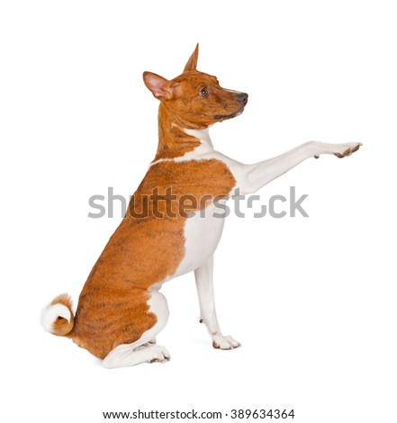 Basenji dog isolated on white background. Side view, greeting