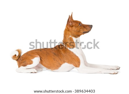 Basenji dog isolated on white background. Side view, laying