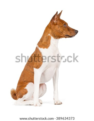 Basenji dog isolated on white background. Side view, sitting.