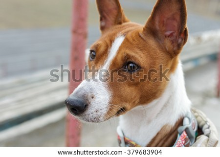 Basenji dog portrait outdoors. Alarmed by opinion. Close-up