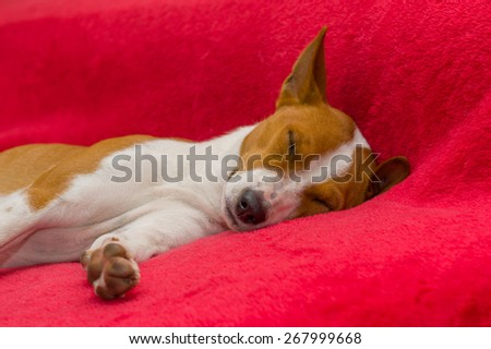 Basenji dog sleeping on red sofa - stock photo