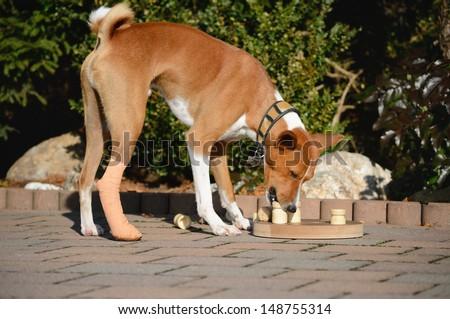 Basenji Dog with educational game - stock photo