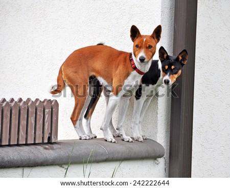 Basenji dogs couple - stock photo