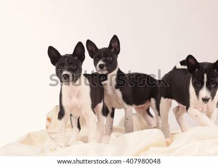 Basenji dogs puppy over grey background - stock photo