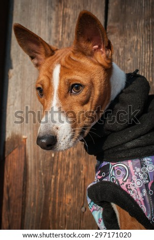 Basenji in winter clothes. Against the background of wooden wall - stock photo