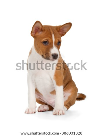 Basenji puppy isolated on white background. Front view, sitting. - stock photo