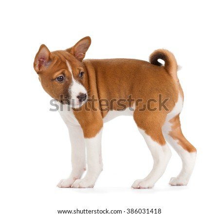 Basenji puppy isolated on white background. Side view, standing, turn back