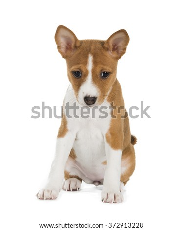 Basenji puppy on a white background