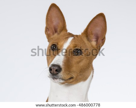 Basenji puppy portrait. The Basenji is a breed of hunting dog that does not bark. Image taken in a studio.