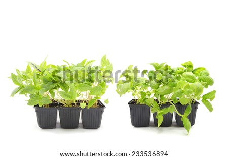 Basil and Thai Basil seedlings isolated on white - stock photo