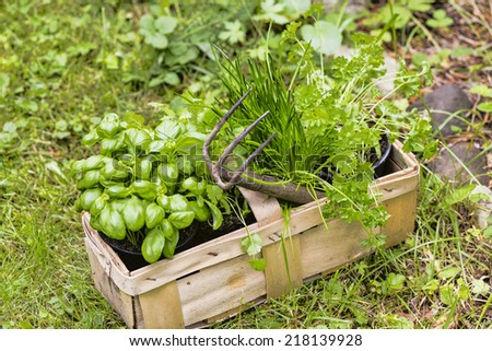 basil, chive and coriander in a garden - stock photo