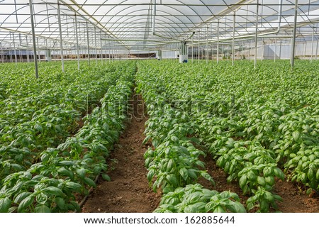 Basil Crops in an Industrial Greenhouse - stock photo