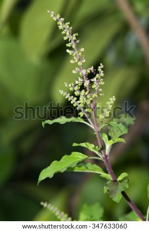 basil flower on nature background - stock photo