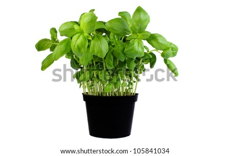 Basil growing in a pot isolated