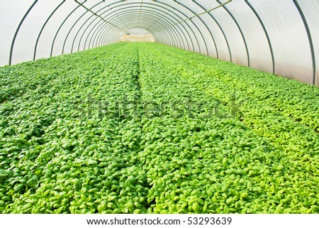 Basil growing in glasshouse or greenery