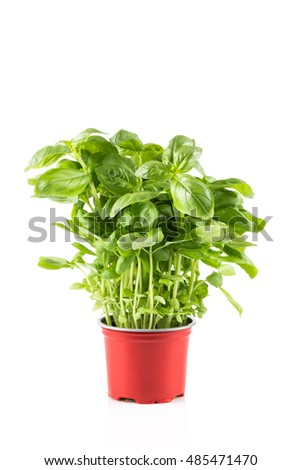 Basil growing in plastic pot isolated on white background