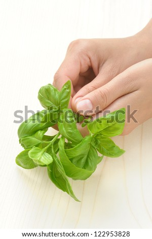 Basil, hands of young woman holding fresh herbs