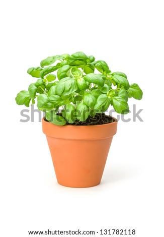 Basil in a clay pot - stock photo