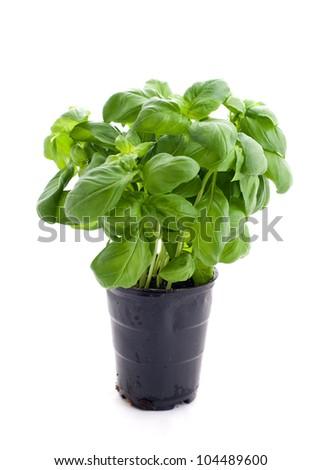 basil in a pot - stock photo