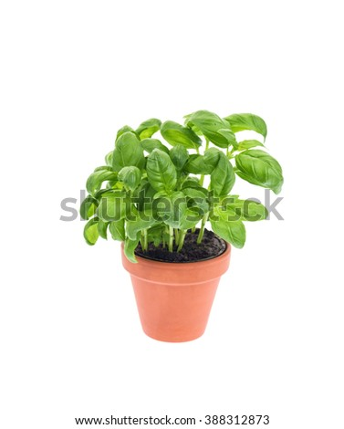 Basil in a pot isolated on white.