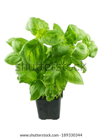 Basil in a pot, isolated  on white background