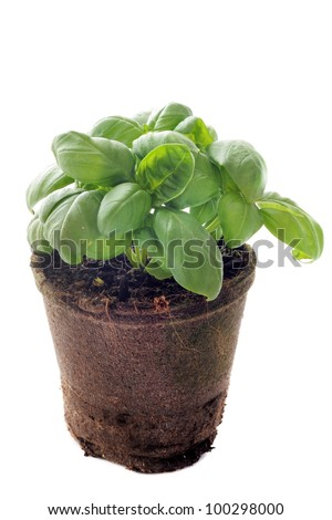 basil in pot in front of white background