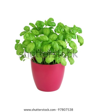basil in pot isolated on white background - stock photo