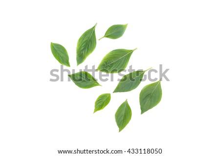Basil leaf Fresh Have medicinal properties Healthy body on white background.( cimum basilicum) - stock photo