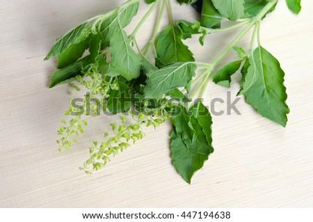 Basil leaf herb plant (Also known as Ocimum basilicum, great basil, Saint-Joseph's-wort, Basil Lamiaceae, thyrsiflora, lemon basil, citriodorum, holy basil, Ocimum, tenuiflorum)  - stock photo