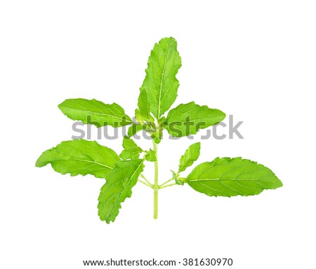 Basil leaf isolated on the white background.
