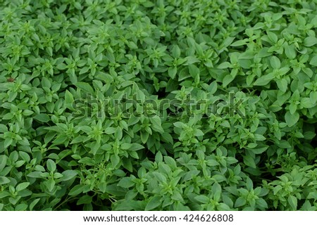 Basil leaves herbal culinary plant natural background. - stock photo