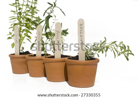 Basil, mint, thyme and lavender potted herbs in line and isolated against white - stock photo