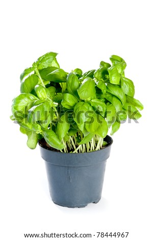 Basil on a white background