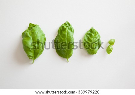 Basil photographed in natural light against white background - stock photo